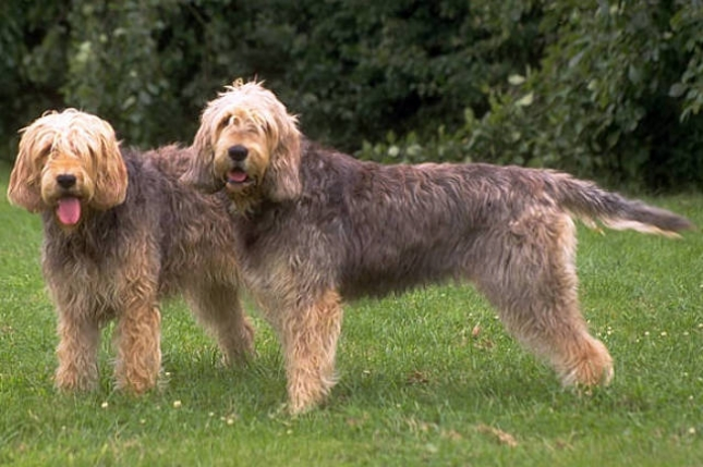 Vidraš (Otterhound)